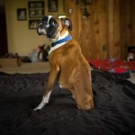 Two Legged Dog - Boxer DuncanLou